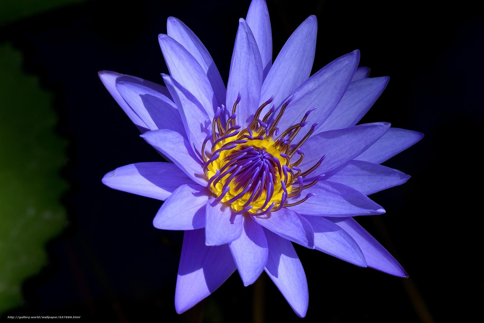 Descargar gratis nenúfar,  Nenúfares,  Flores,  flora Fondos de escritorio en la resolucin 4728x3152 — imagen №657888