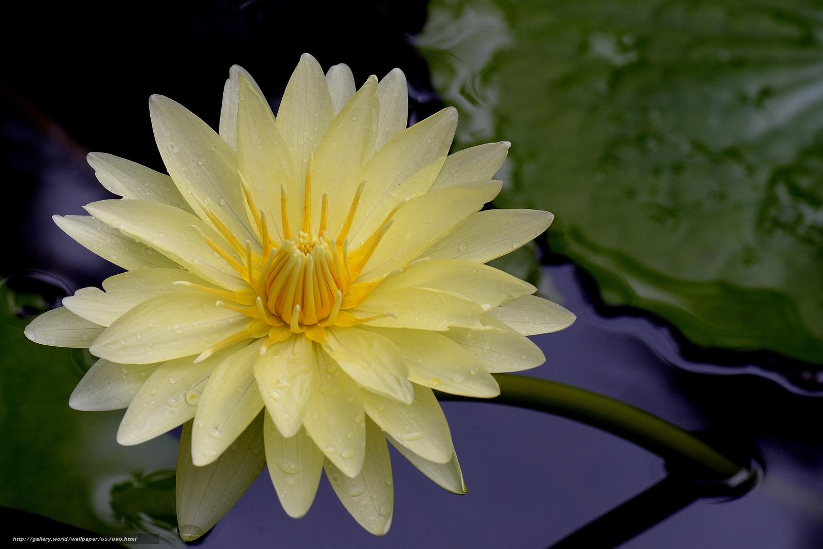 pobra tapety grążel,  Lilie wodne,  Kwiaty,  flora Darmowe tapety na pulpit rozdzielczoci 4109x2739 — zdjcie №657890
