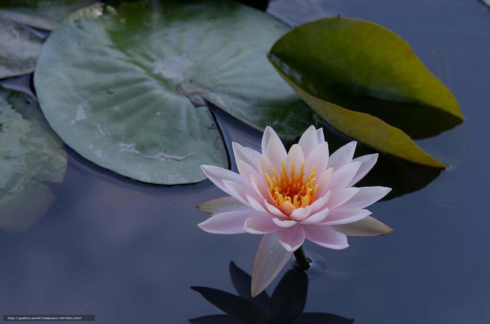 scaricare gli sfondi ninfea,  Ninfee,  Fiori,  flora Sfondi gratis per la risoluzione del desktop 4928x3264 — immagine №657891