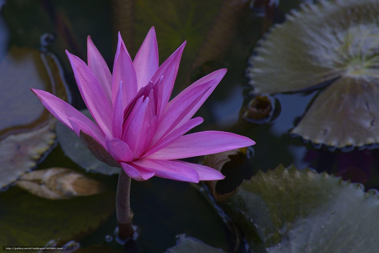 Descargar gratis nenúfar,  Nenúfares,  Flores,  flora Fondos de escritorio en la resolucin 4050x2700 — imagen №657892