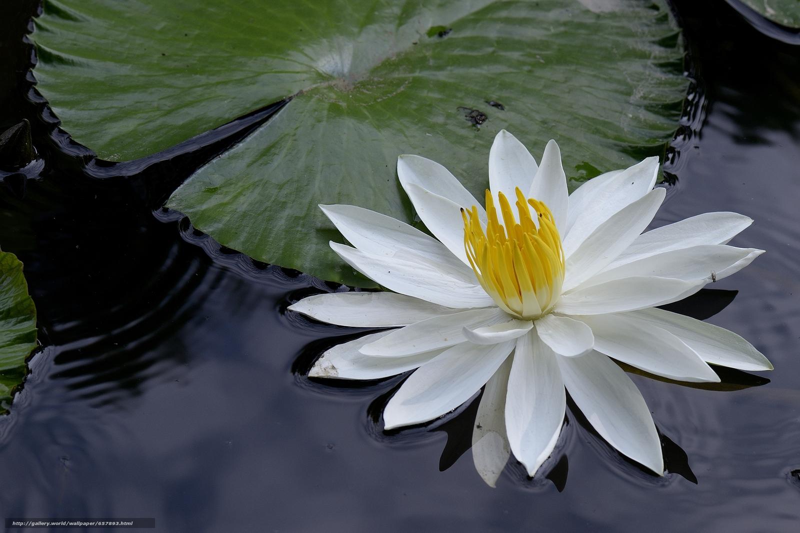 scaricare gli sfondi ninfea,  Ninfee,  Fiori,  flora Sfondi gratis per la risoluzione del desktop 4776x3184 — immagine №657893