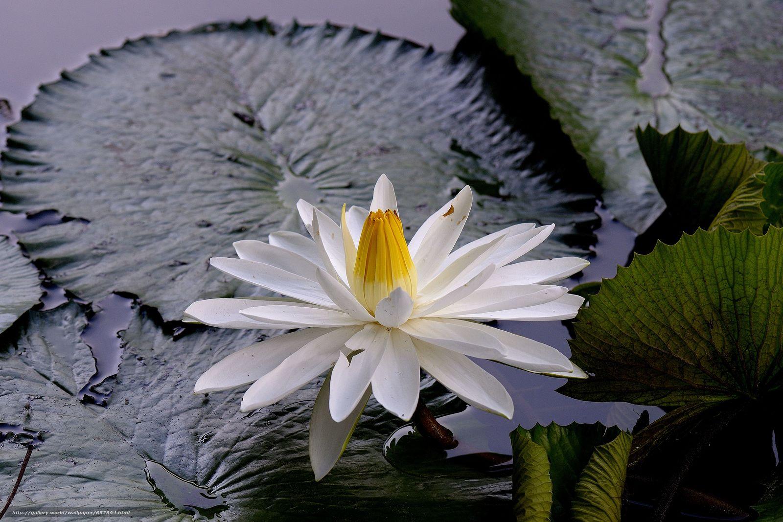 scaricare gli sfondi ninfea,  Ninfee,  Fiori,  flora Sfondi gratis per la risoluzione del desktop 4688x3125 — immagine №657894