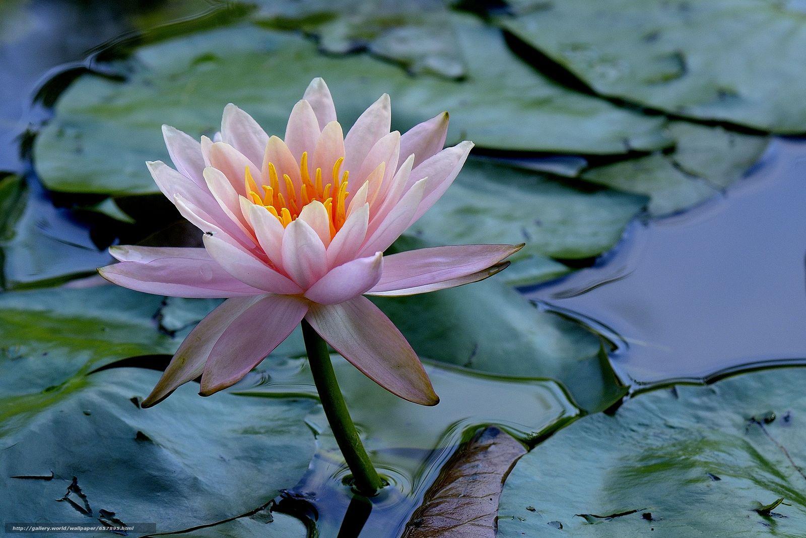 scaricare gli sfondi ninfea,  Ninfee,  Fiori,  flora Sfondi gratis per la risoluzione del desktop 3547x2365 — immagine №657895
