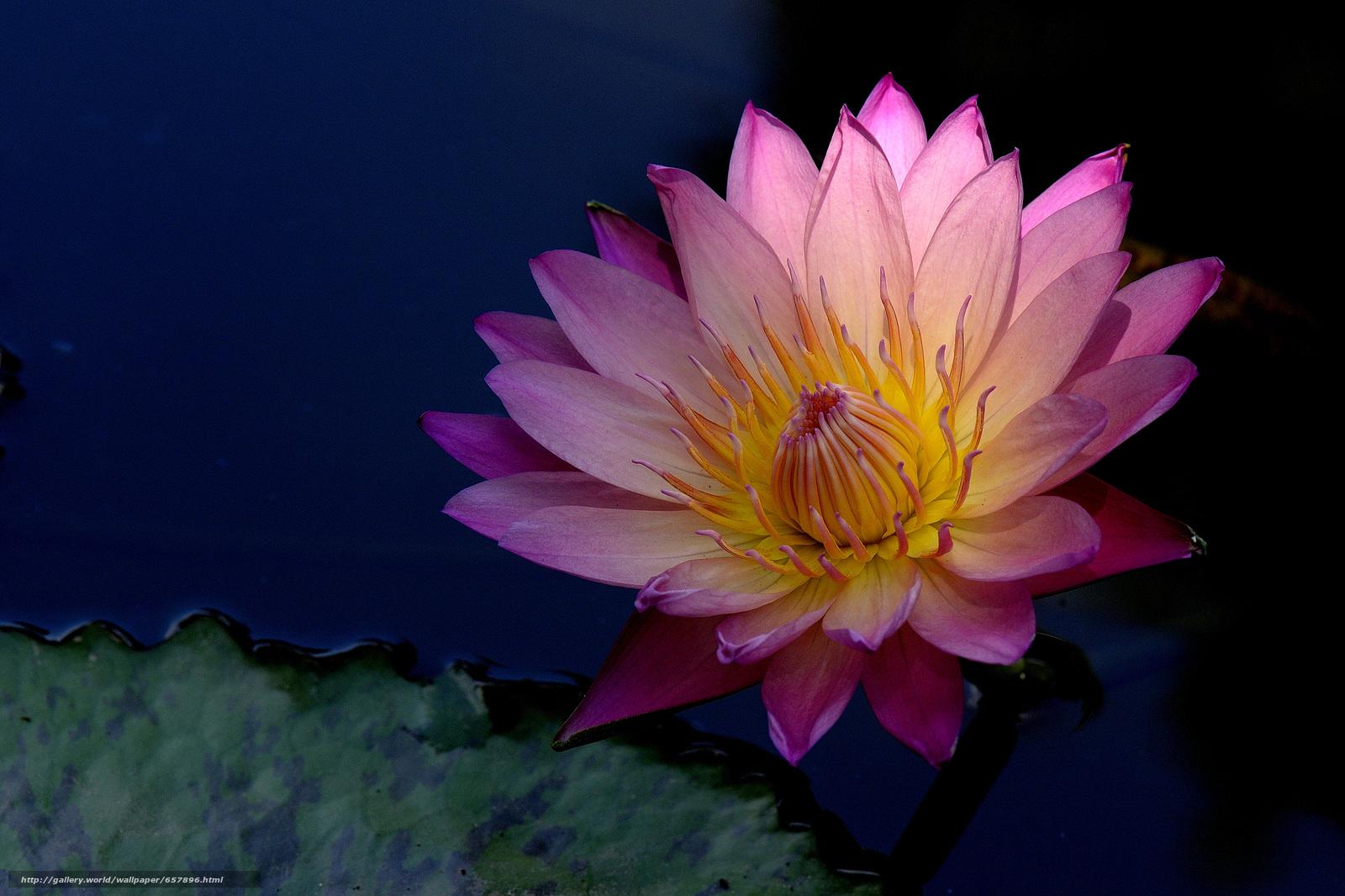 scaricare gli sfondi ninfea,  Ninfee,  Fiori,  flora Sfondi gratis per la risoluzione del desktop 4564x3042 — immagine №657896