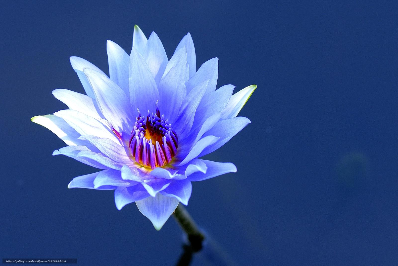 Tlcharger Fond d'ecran nénuphar,  Nénuphars,  Fleurs,  flore Fonds d'ecran gratuits pour votre rsolution du bureau 3999x2666 — image №657898