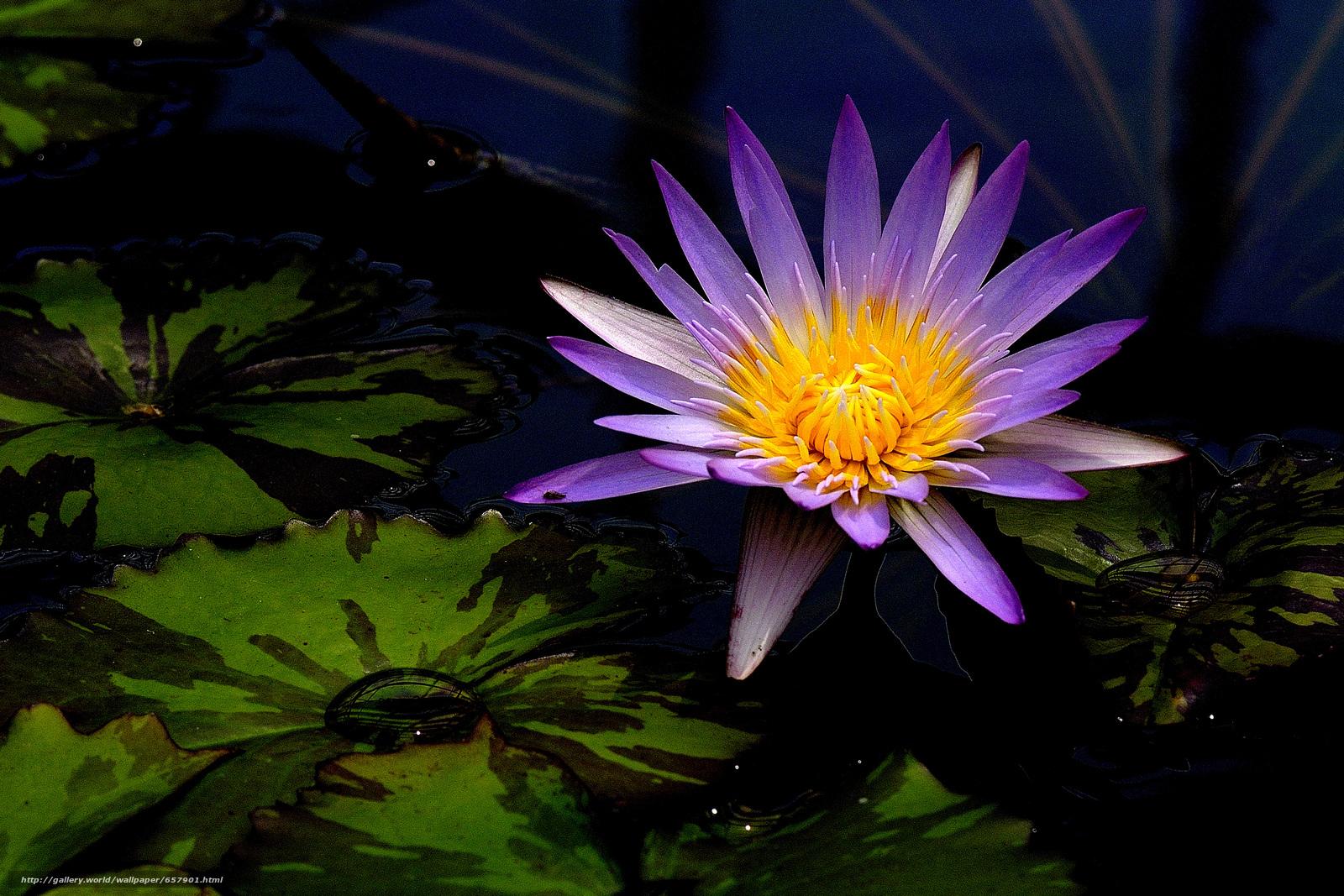 Водяная лилия картинки 5