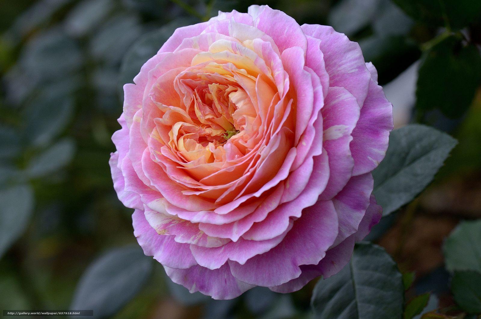 Tlcharger Fond d'ecran rose,  Roses,  fleur,  Fleurs Fonds d'ecran gratuits pour votre rsolution du bureau 4928x3264 — image №657918