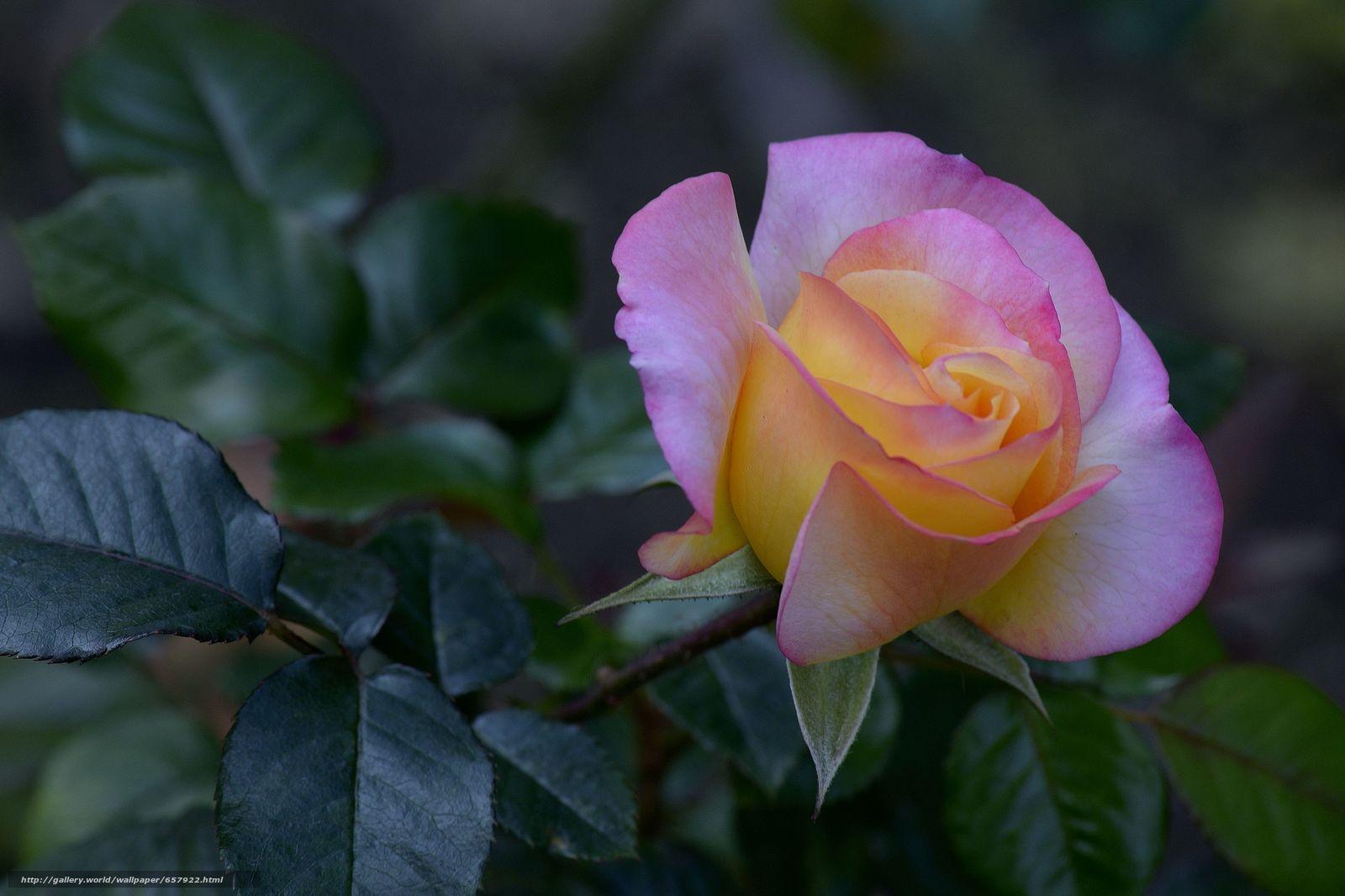 pobra tapety róża,  Roses,  kwiat,  Kwiaty Darmowe tapety na pulpit rozdzielczoci 4704x3135 — zdjcie №657922