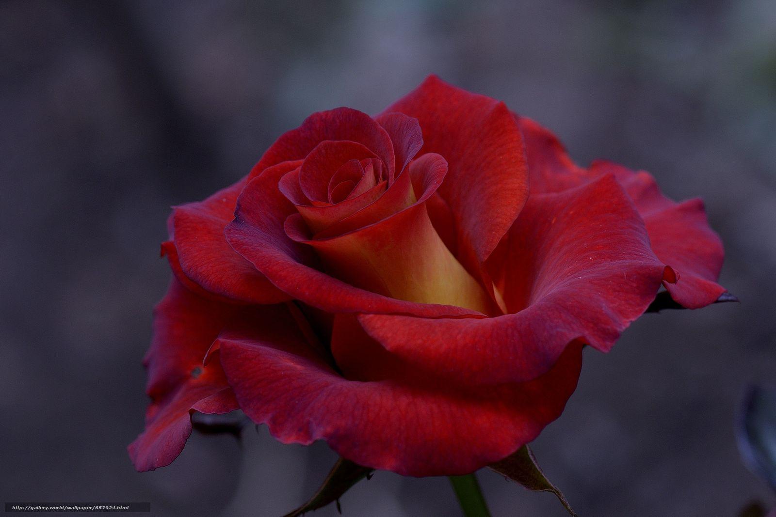 pobra tapety róża,  Roses,  kwiat,  Kwiaty Darmowe tapety na pulpit rozdzielczoci 4425x2950 — zdjcie №657924