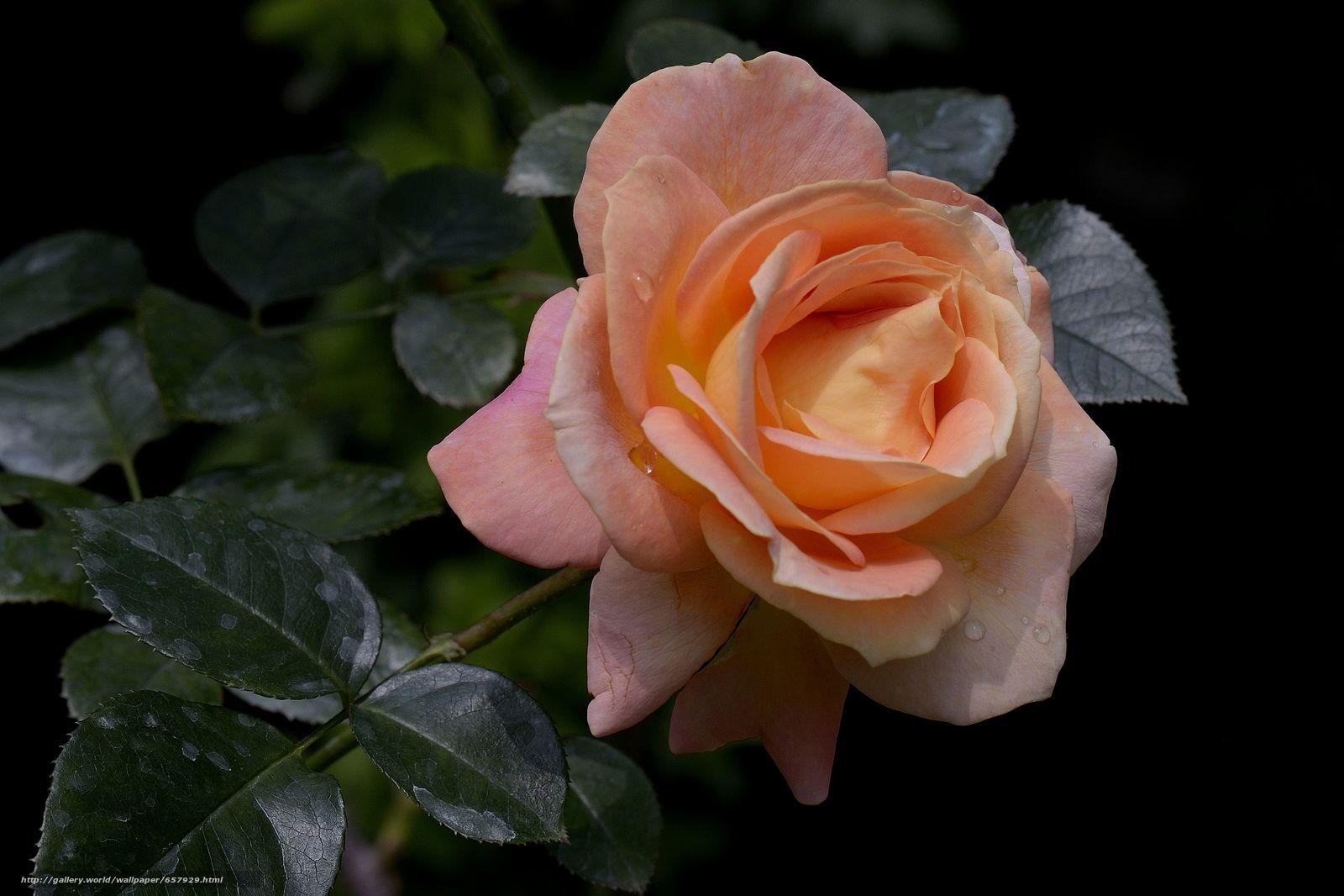 scaricare gli sfondi rosa,  Roses,  fiore,  Fiori Sfondi gratis per la risoluzione del desktop 4792x3194 — immagine №657929