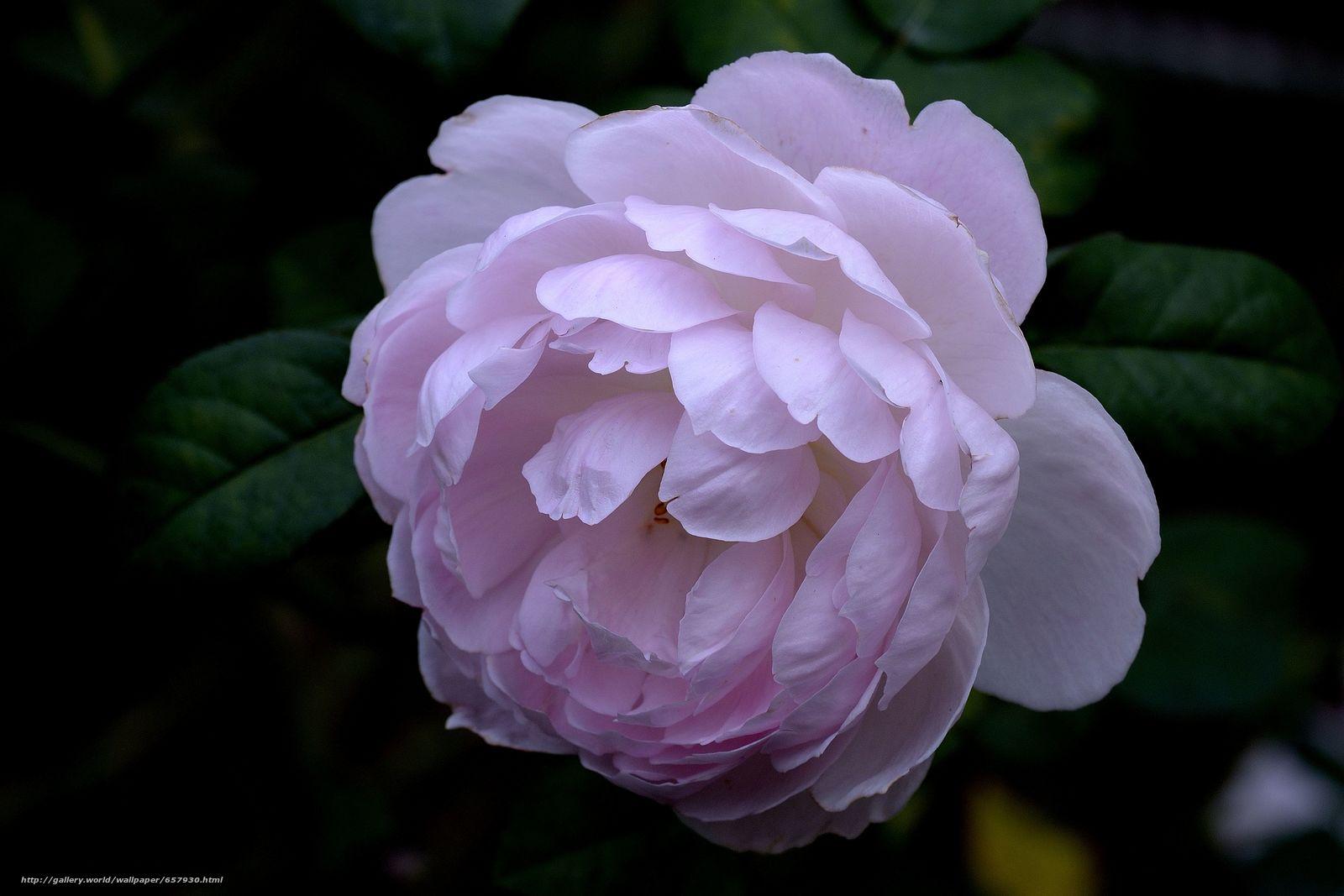 Tlcharger Fond d'ecran rose,  Roses,  fleur,  Fleurs Fonds d'ecran gratuits pour votre rsolution du bureau 4583x3055 — image №657930