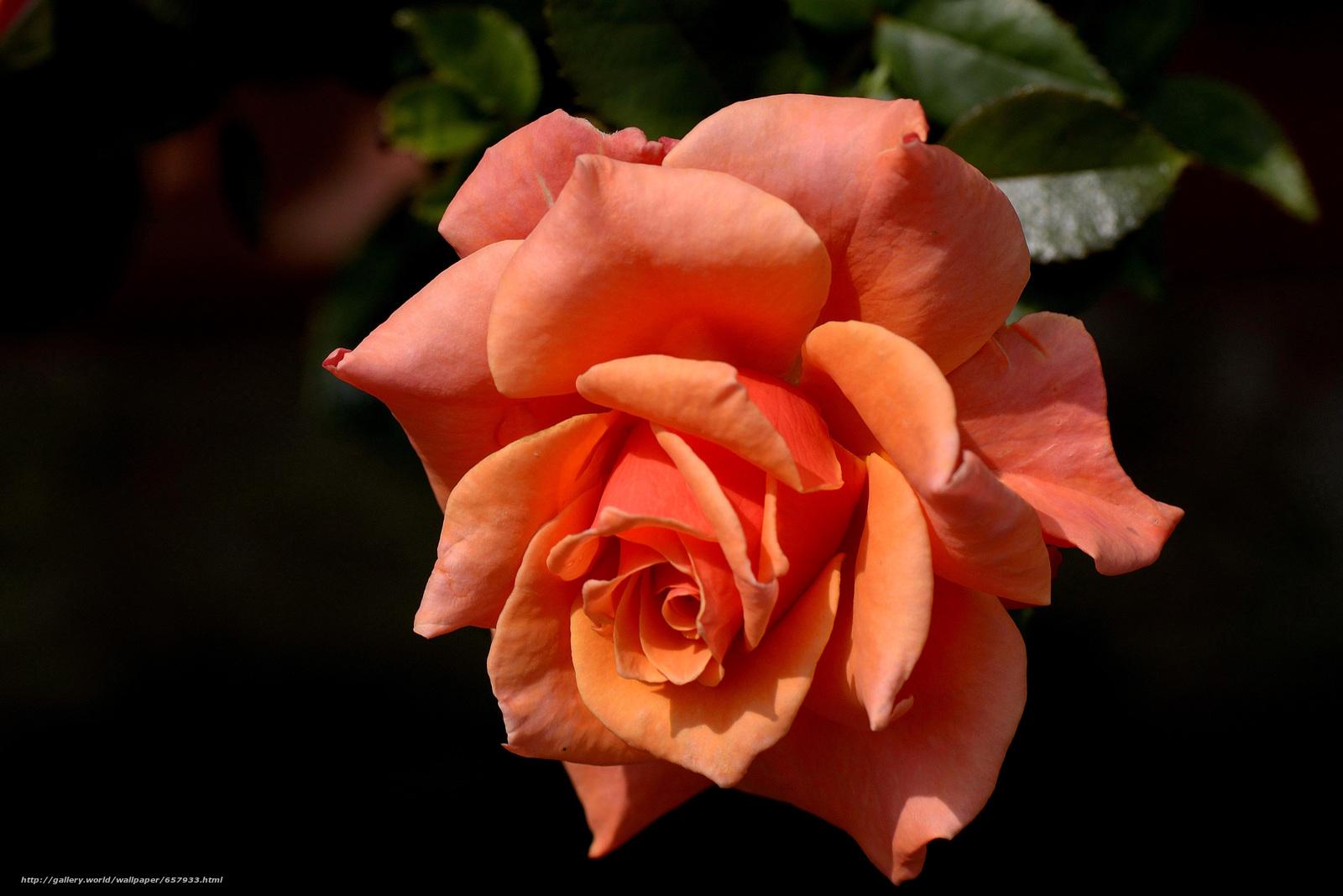 Скачать обои роза,  розы,  цветок,  цветы бесплатно для рабочего стола в разрешении 4625x3083 — картинка №657933