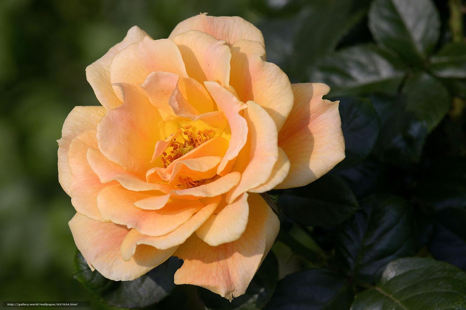 Скачать обои роза,  розы,  цветок,  цветы бесплатно для рабочего стола в разрешении 4043x2695 — картинка №657936