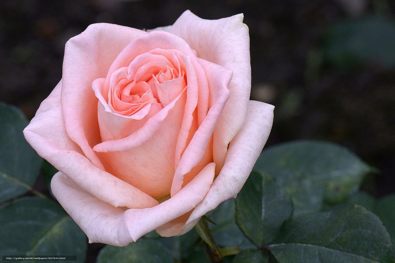 Скачать обои роза,  розы,  цветок,  цветы бесплатно для рабочего стола в разрешении 3494x2329 — картинка №657944