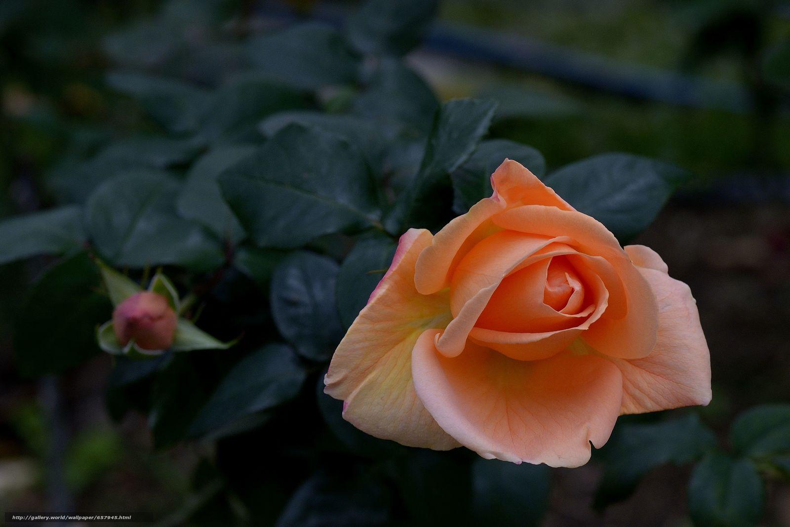 下载壁纸 玫瑰,  玫瑰,  花,  花卉 免费为您的桌面分辨率的壁纸 4730x3153 — 图片 №657945