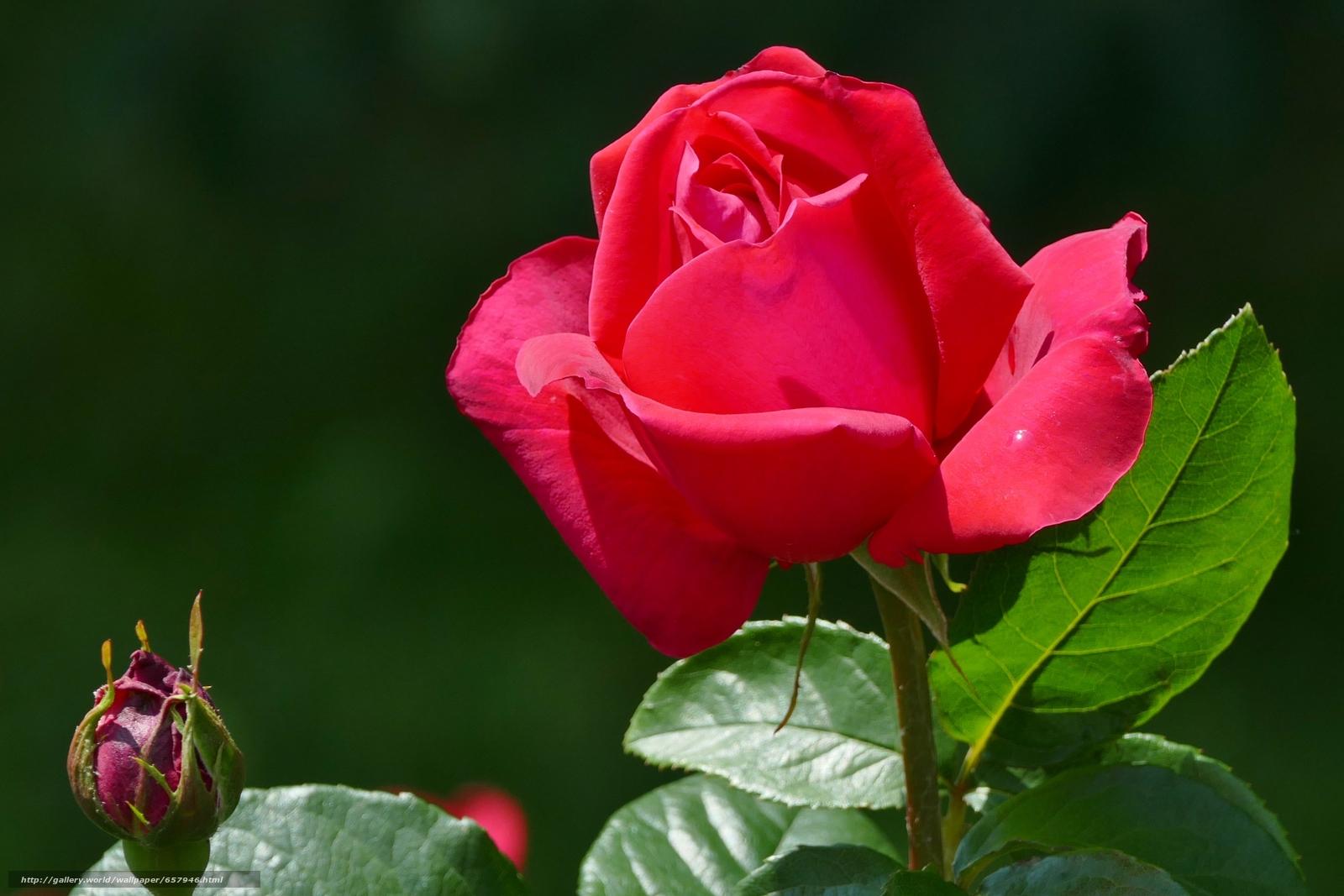 Скачать обои роза,  розы,  цветок,  цветы бесплатно для рабочего стола в разрешении 3648x2432 — картинка №657946