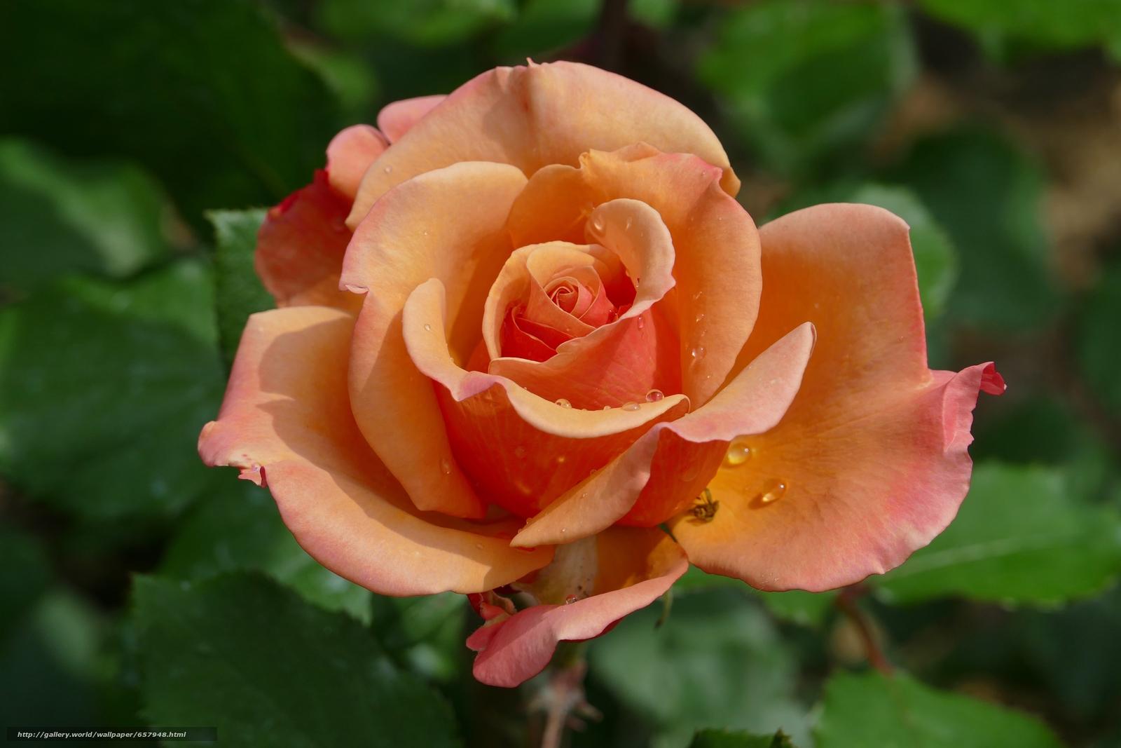scaricare gli sfondi rosa,  Roses,  fiore,  Fiori Sfondi gratis per la risoluzione del desktop 5472x3648 — immagine №657948