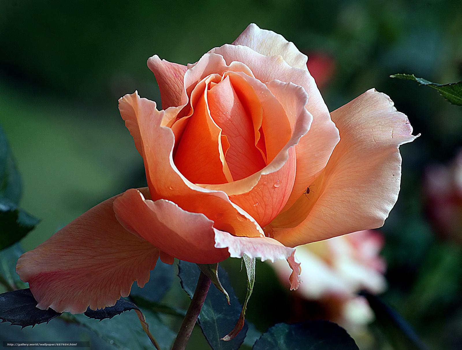 Скачать обои роза,  розы,  цветок,  цветы бесплатно для рабочего стола в разрешении 3205x2427 — картинка №657954