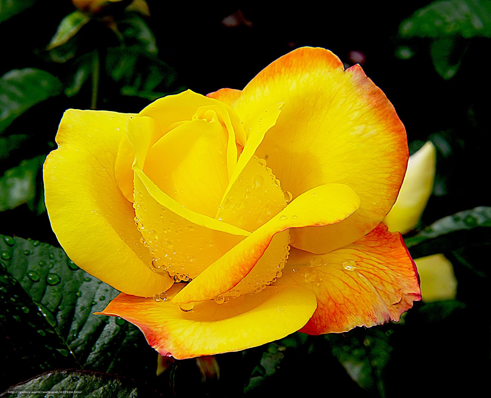 Скачать обои роза,  розы,  цветок,  цветы бесплатно для рабочего стола в разрешении 2786x2257 — картинка №657956