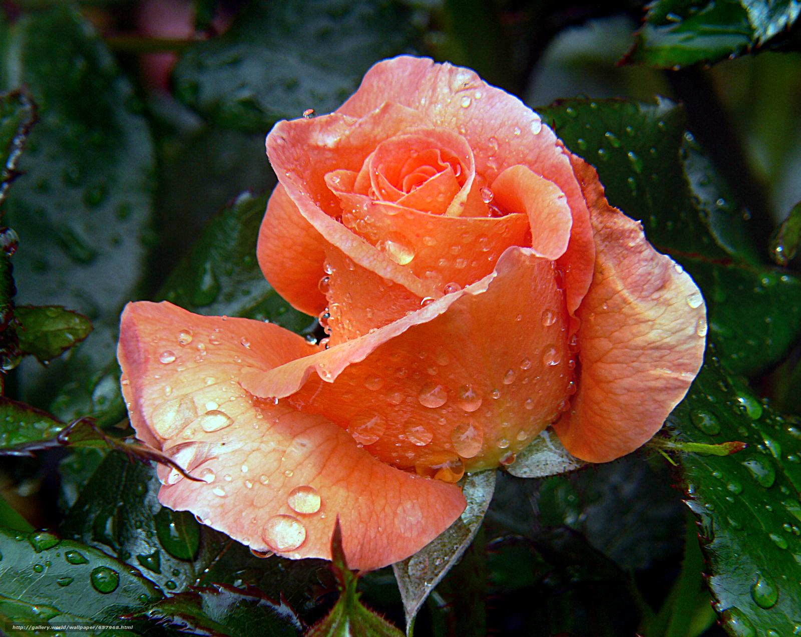 scaricare gli sfondi rosa,  Roses,  fiore,  Fiori Sfondi gratis per la risoluzione del desktop 2784x2214 — immagine №657968