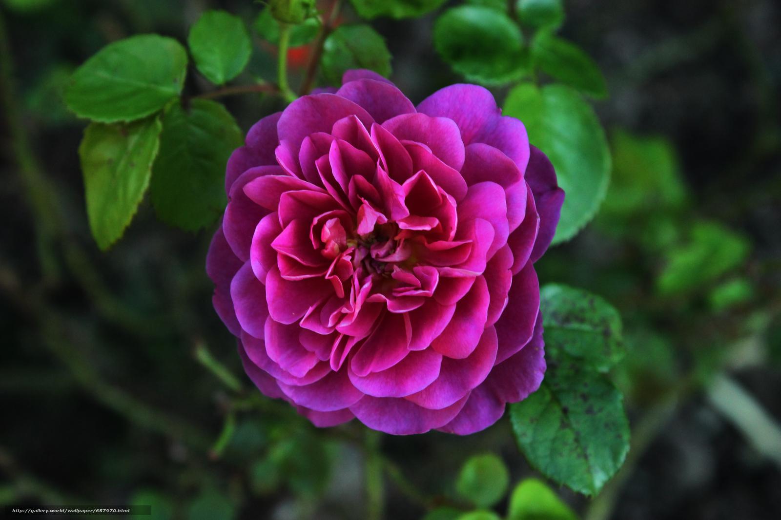 Скачать обои роза,  розы,  цветок,  цветы бесплатно для рабочего стола в разрешении 5184x3456 — картинка №657970