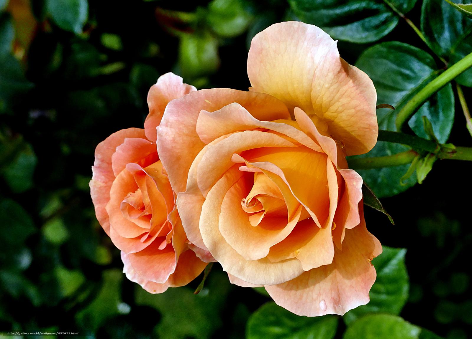 Скачать обои роза,  розы,  цветок,  цветы бесплатно для рабочего стола в разрешении 4000x2878 — картинка №657972