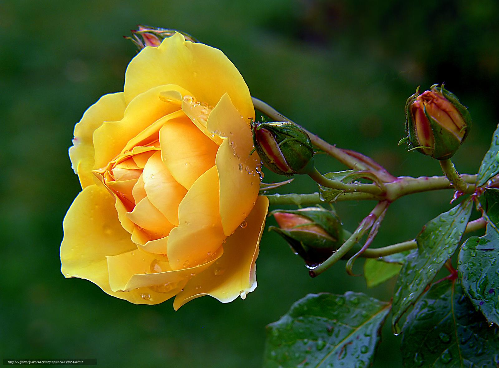 壁紙をダウンロード ローズ,  バラ,  花,  フラワーズ デスクトップの解像度のための無料壁紙 3018x2226 — 絵 №657974