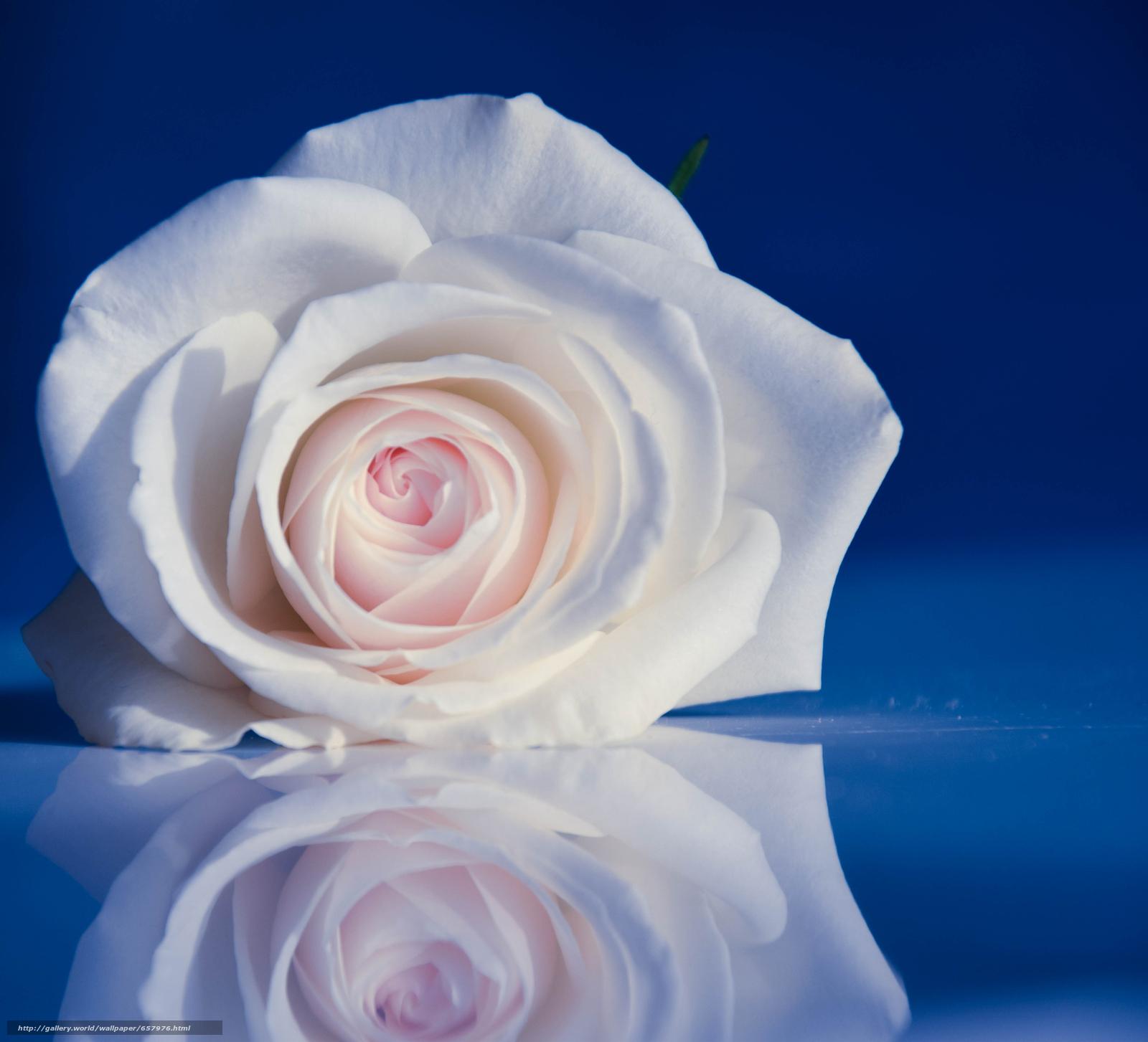 Скачать обои роза,  бутон,  лепестки,  отражение бесплатно для рабочего стола в разрешении 4404x4000 — картинка №657976