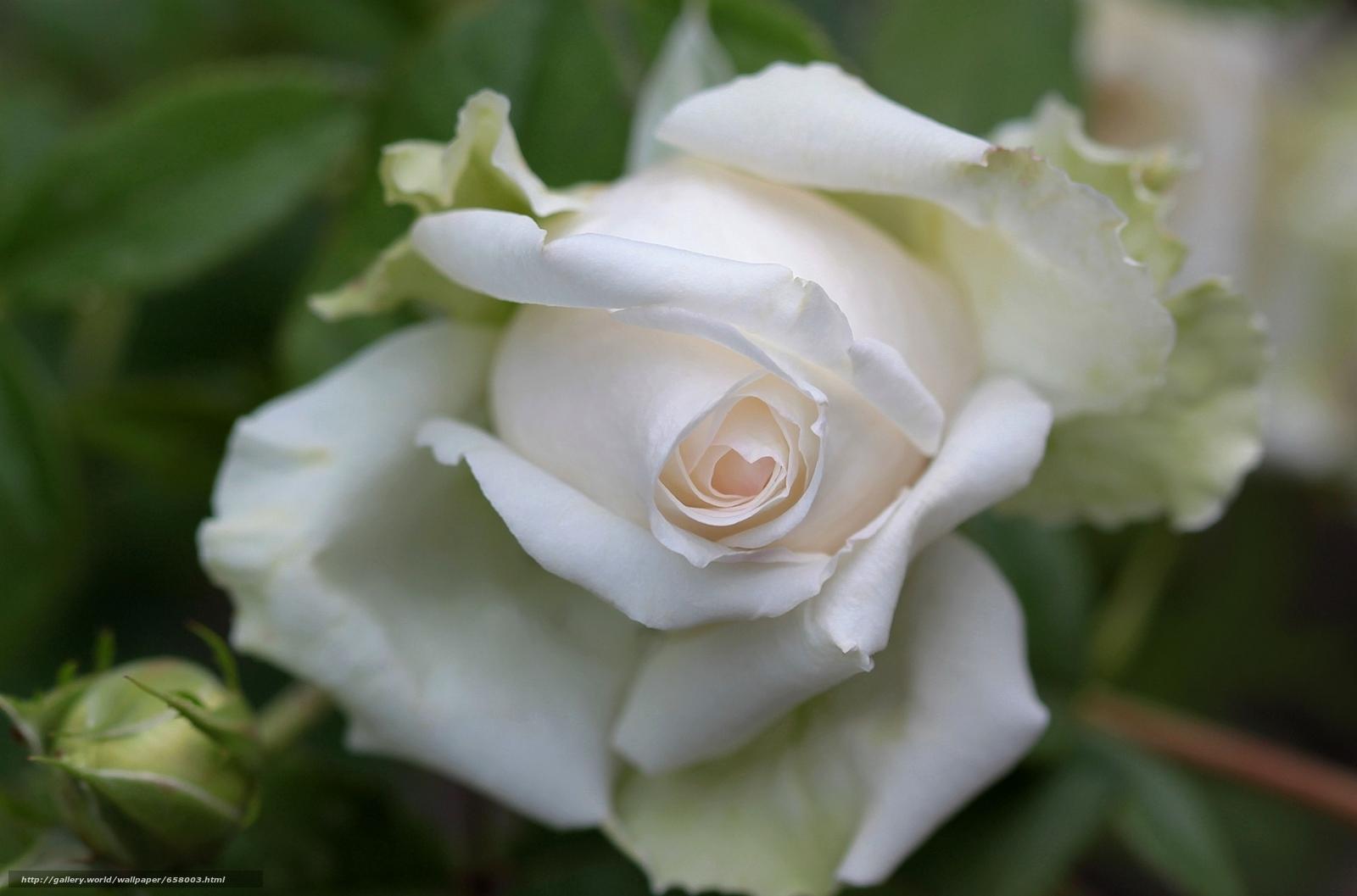 Скачать обои цветы,  цветок,  роза,  розы бесплатно для рабочего стола в разрешении 2048x1353 — картинка №658003