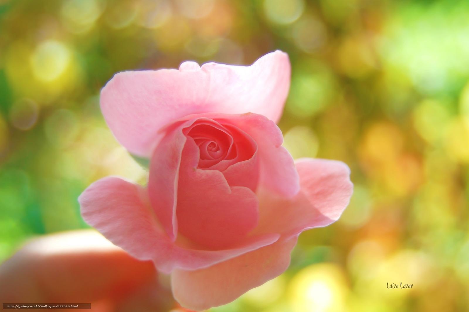壁紙をダウンロード フラワーズ,  花,  ローズ,  バラ デスクトップの解像度のための無料壁紙 3008x2000 — 絵 №658010