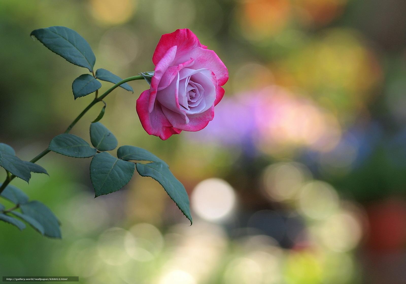 scaricare gli sfondi Fiori,  fiore,  rosa,  Roses Sfondi gratis per la risoluzione del desktop 2048x1435 — immagine №658012