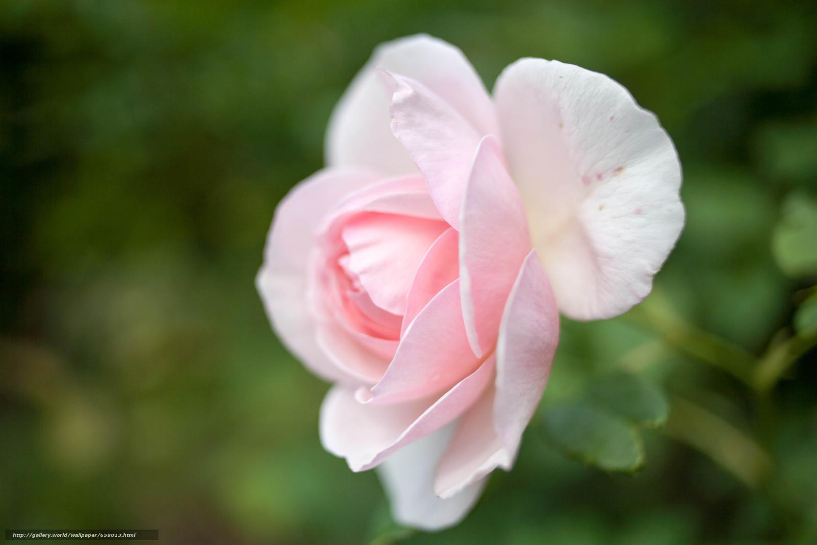 scaricare gli sfondi Fiori,  fiore,  rosa,  Roses Sfondi gratis per la risoluzione del desktop 4368x2912 — immagine №658013