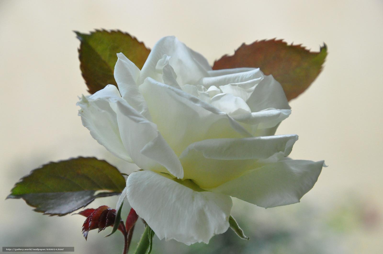 Скачать обои цветы,  цветок,  роза,  розы бесплатно для рабочего стола в разрешении 2048x1360 — картинка №658014
