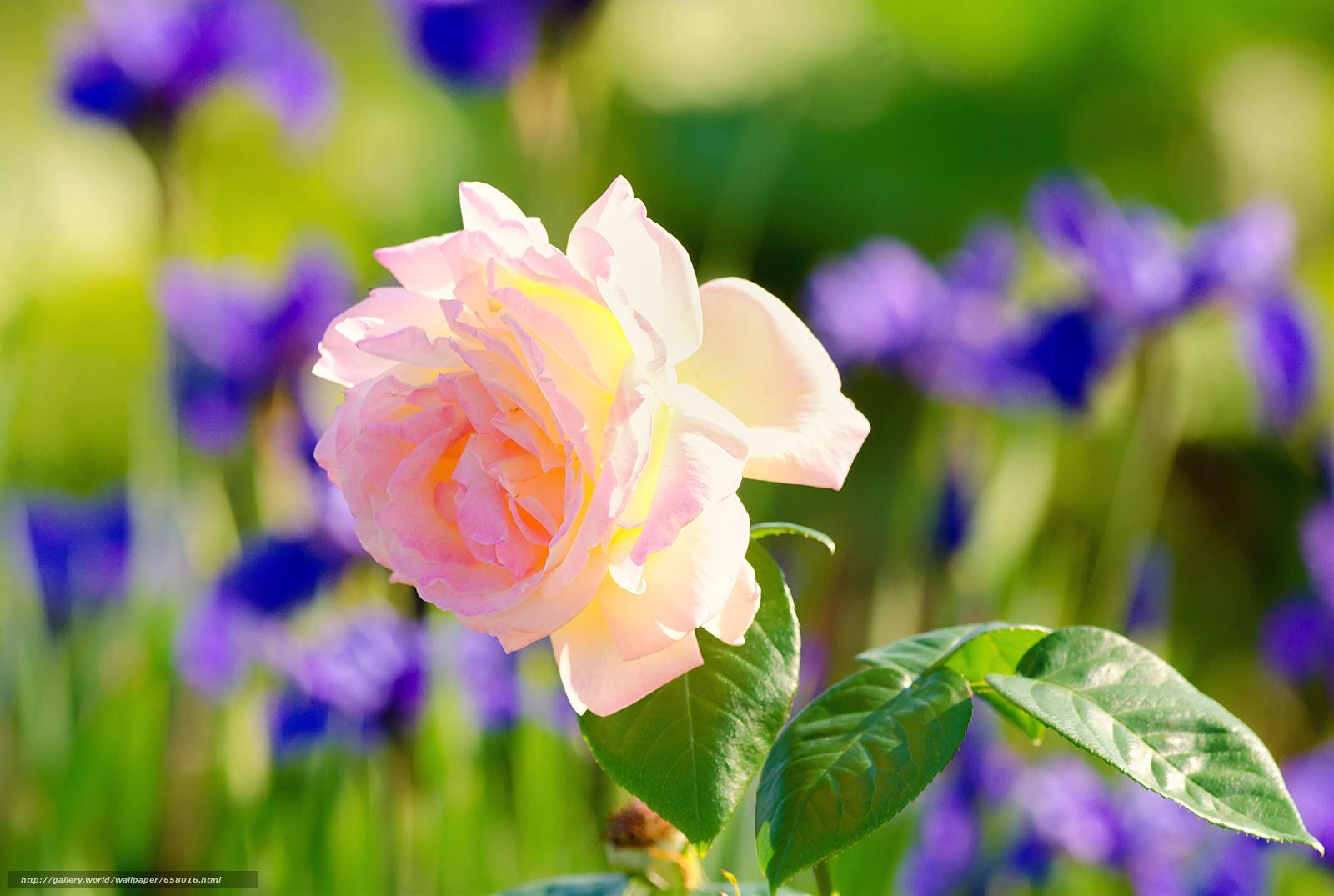 Descargar gratis Flores,  flor,  rosa,  Roses Fondos de escritorio en la resolucin 3977x2672 — imagen №658016