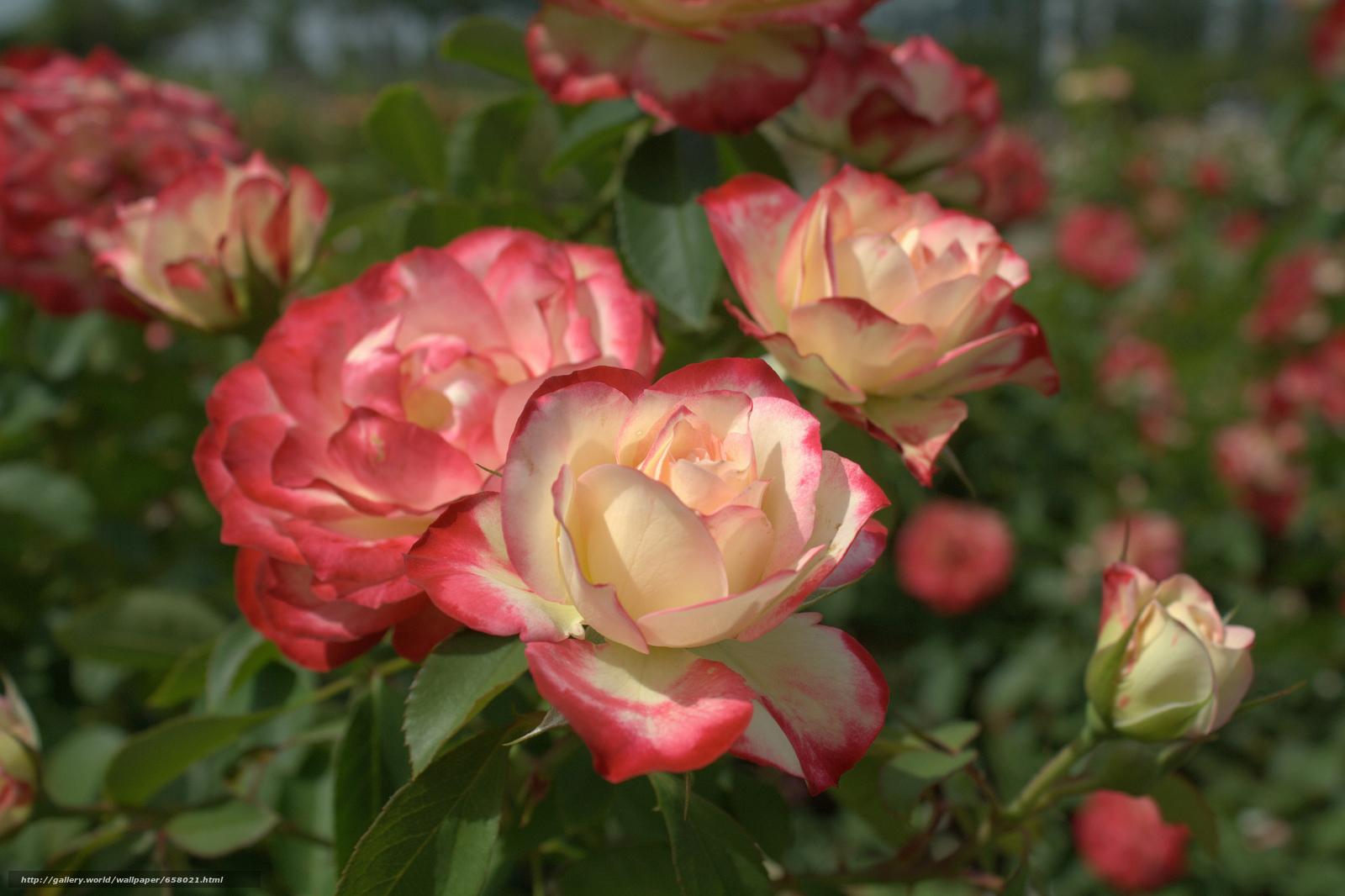 Скачать обои цветы,  цветок,  роза,  розы бесплатно для рабочего стола в разрешении 2048x1364 — картинка №658021