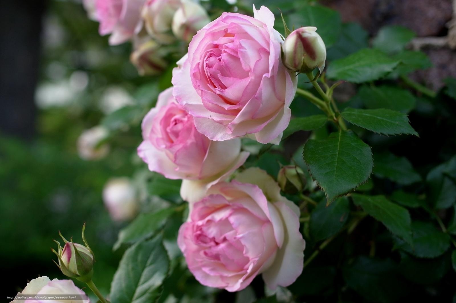 scaricare gli sfondi Fiori,  fiore,  rosa,  Roses Sfondi gratis per la risoluzione del desktop 2048x1361 — immagine №658033
