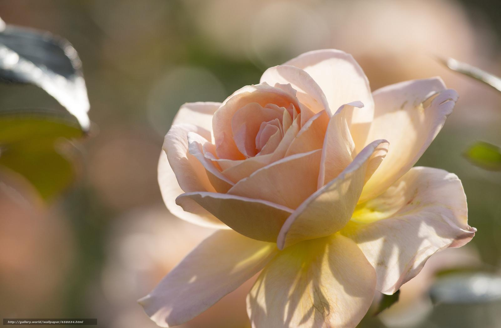 scaricare gli sfondi Fiori,  fiore,  rosa,  Roses Sfondi gratis per la risoluzione del desktop 2048x1341 — immagine №658034
