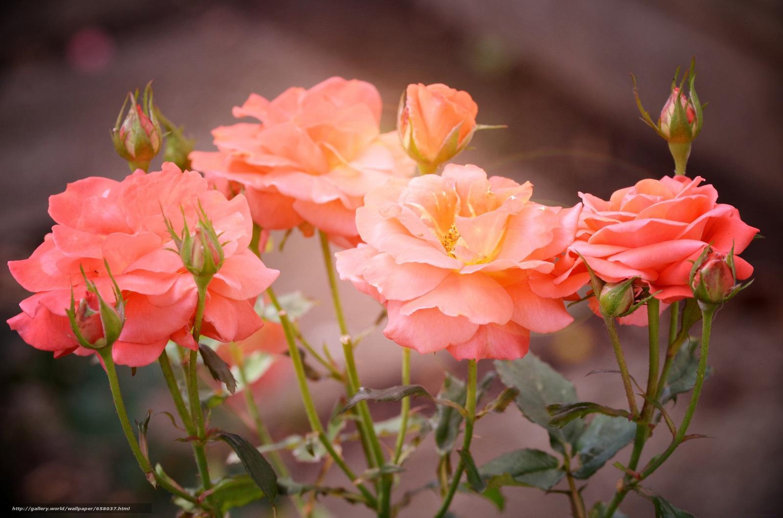 pobra tapety Kwiaty,  kwiat,  róża,  Roses Darmowe tapety na pulpit rozdzielczoci 2048x1356 — zdjcie №658037