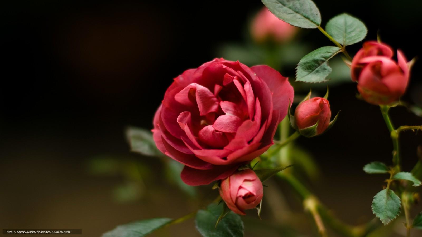 Скачать обои цветы,  цветок,  роза,  розы бесплатно для рабочего стола в разрешении 3641x2048 — картинка №658046