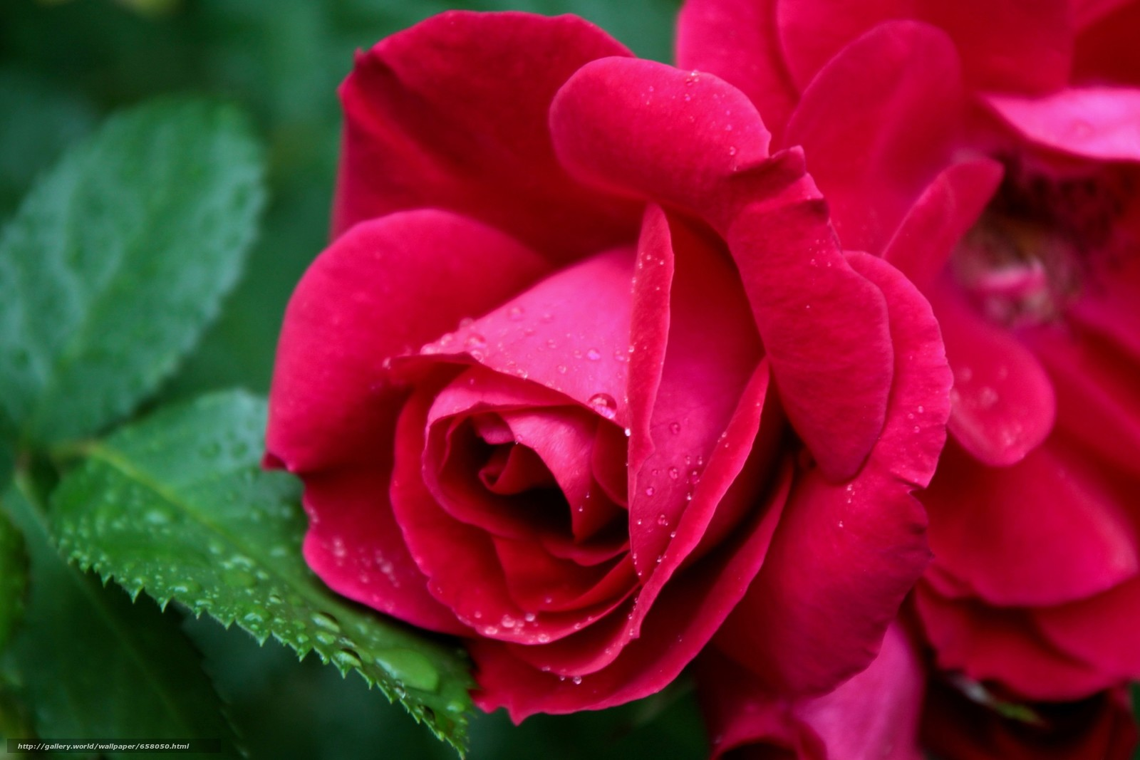 Descargar gratis Flores,  flor,  rosa,  Roses Fondos de escritorio en la resolucin 3300x2200 — imagen №658050