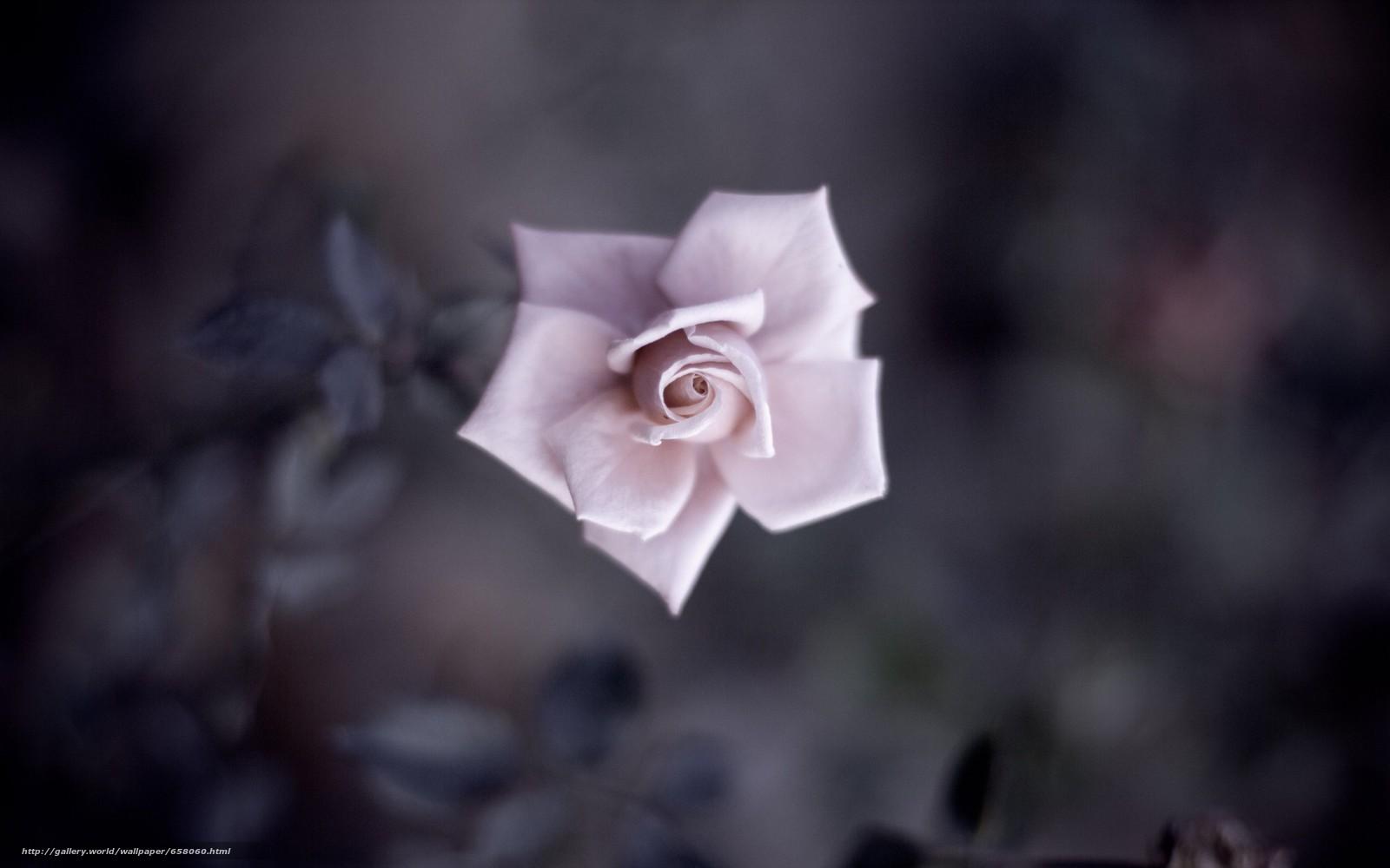 Descargar gratis Flores,  flor,  rosa,  Roses Fondos de escritorio en la resolucin 2560x1600 — imagen №658060