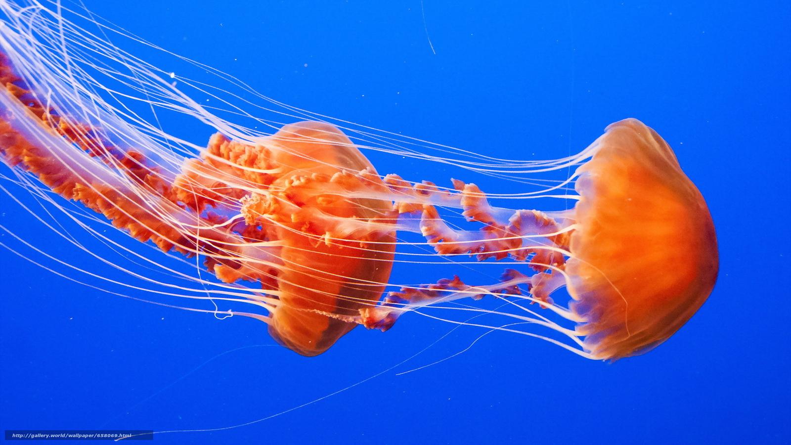 下载壁纸 海蜇, 海蜇, 海底世界, 水 免费为您的桌面分辨率的壁纸