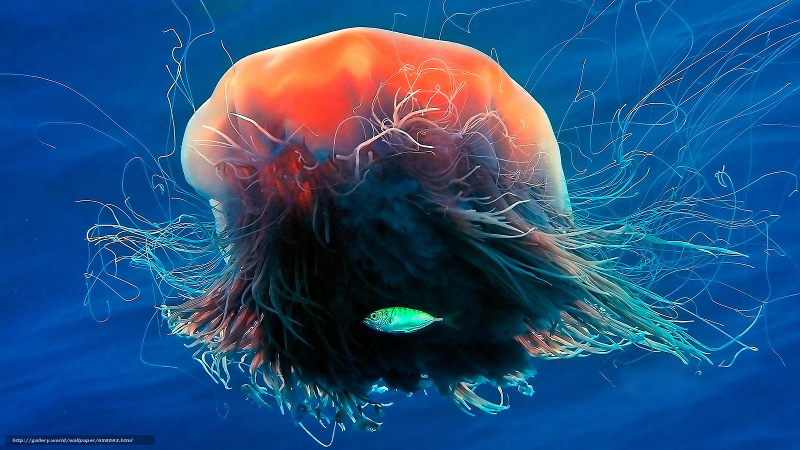 pobra tapety meduza,  Meduza,  Podwodny świat,  woda Darmowe tapety na pulpit rozdzielczoci 1920x1080 — zdjcie №658093