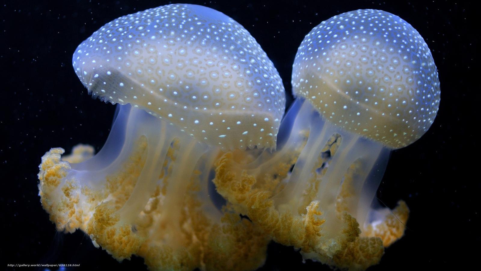 Скачать обои медуза,  медузы,  подводный мир,  вода бесплатно для рабочего стола в разрешении 2048x1152 — картинка №658128
