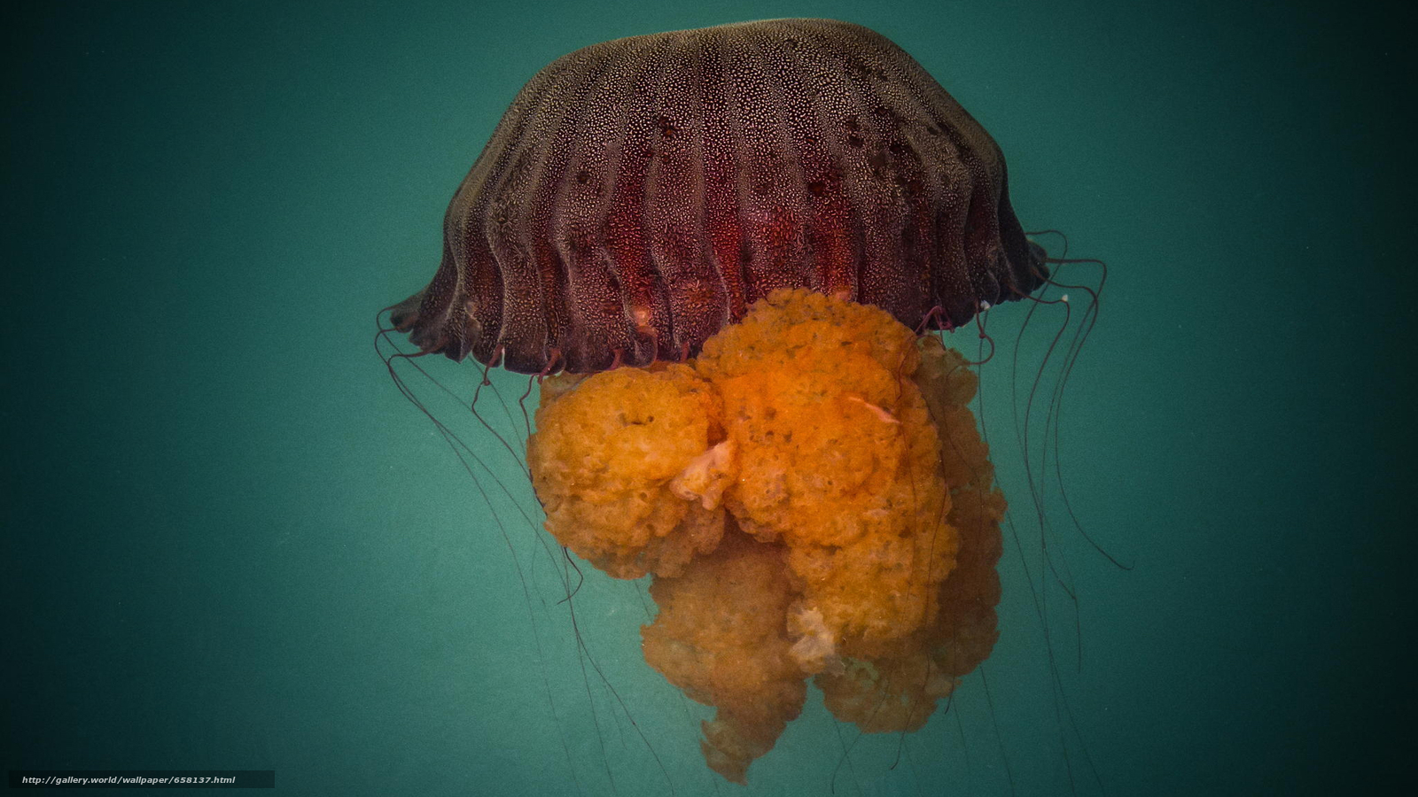 scaricare gli sfondi meduse,  Medusa,  Mondo subacqueo,  acqua Sfondi gratis per la risoluzione del desktop 2048x1152 — immagine №658137