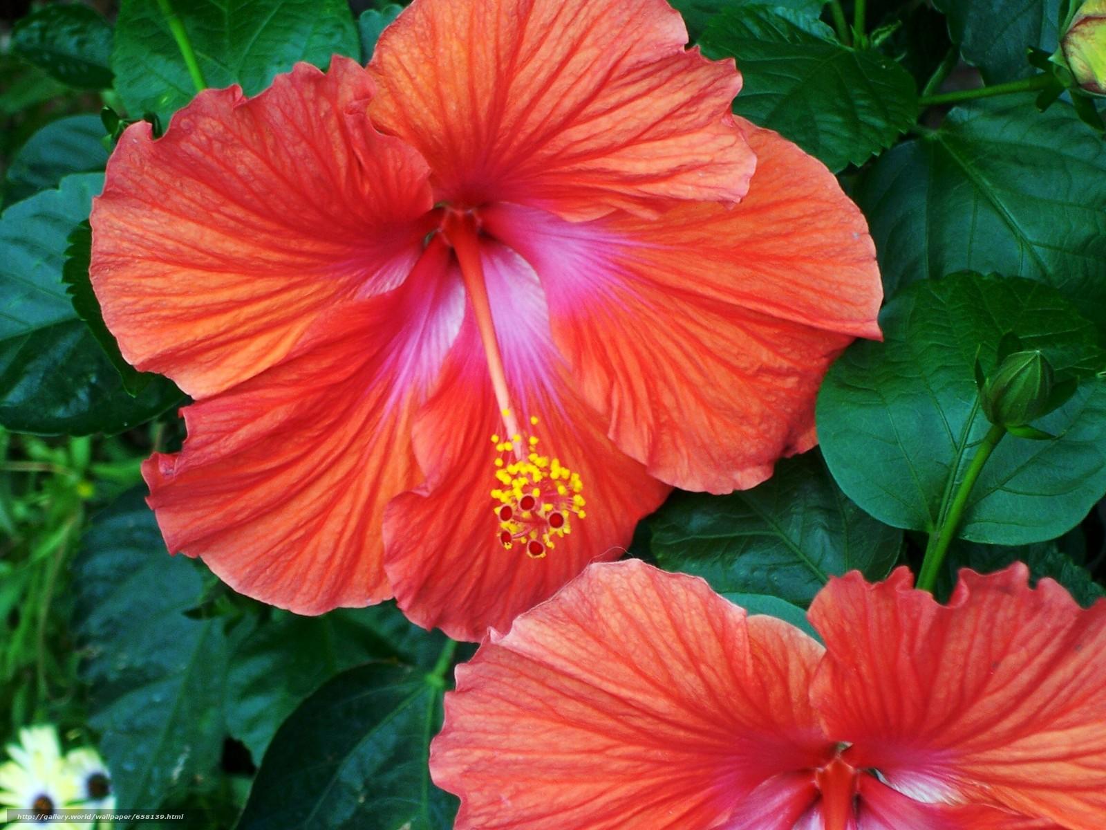 scaricare gli sfondi ibisco,  Ibisco,  Fiori,  fiore Sfondi gratis per la risoluzione del desktop 2304x1728 — immagine №658139