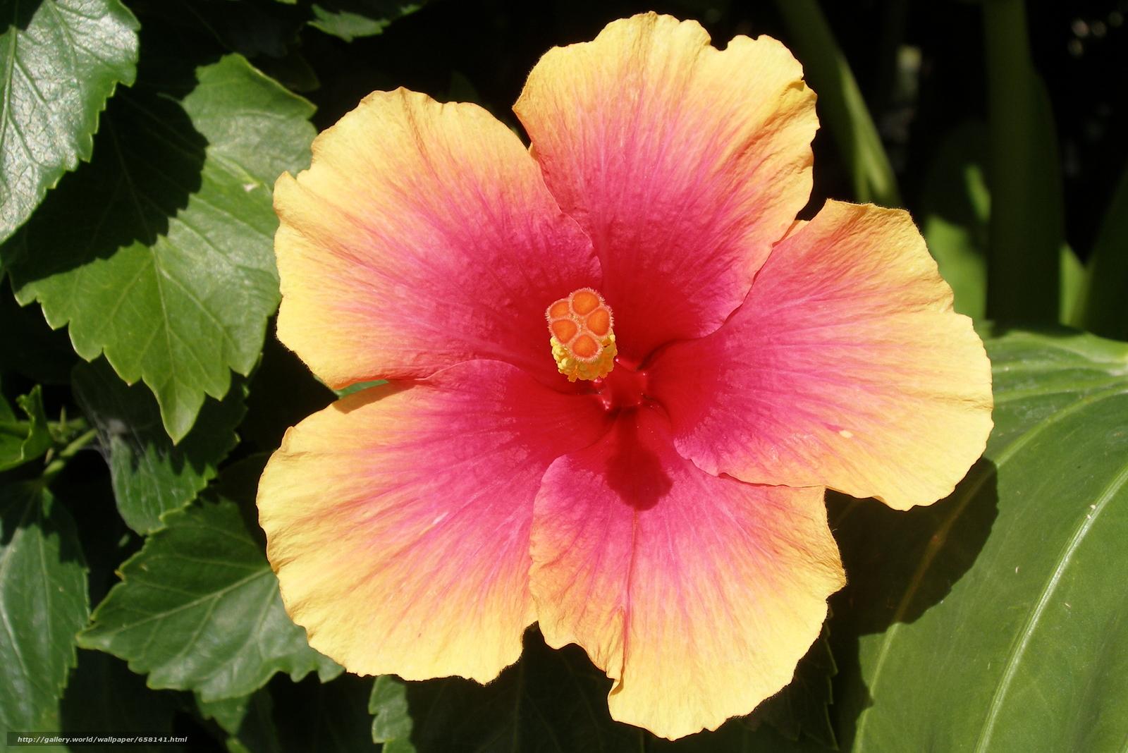 scaricare gli sfondi ibisco,  Ibisco,  Fiori,  fiore Sfondi gratis per la risoluzione del desktop 3005x2005 — immagine №658141