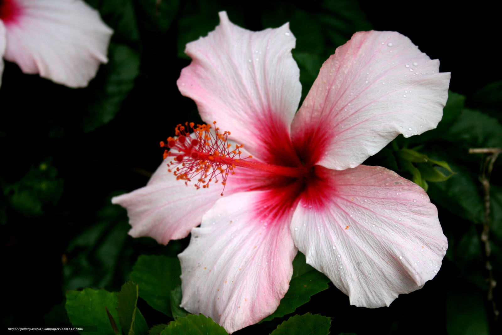 Descargar gratis hibisco,  Hibisco,  Flores,  flor Fondos de escritorio en la resolucin 3888x2592 — imagen №658143