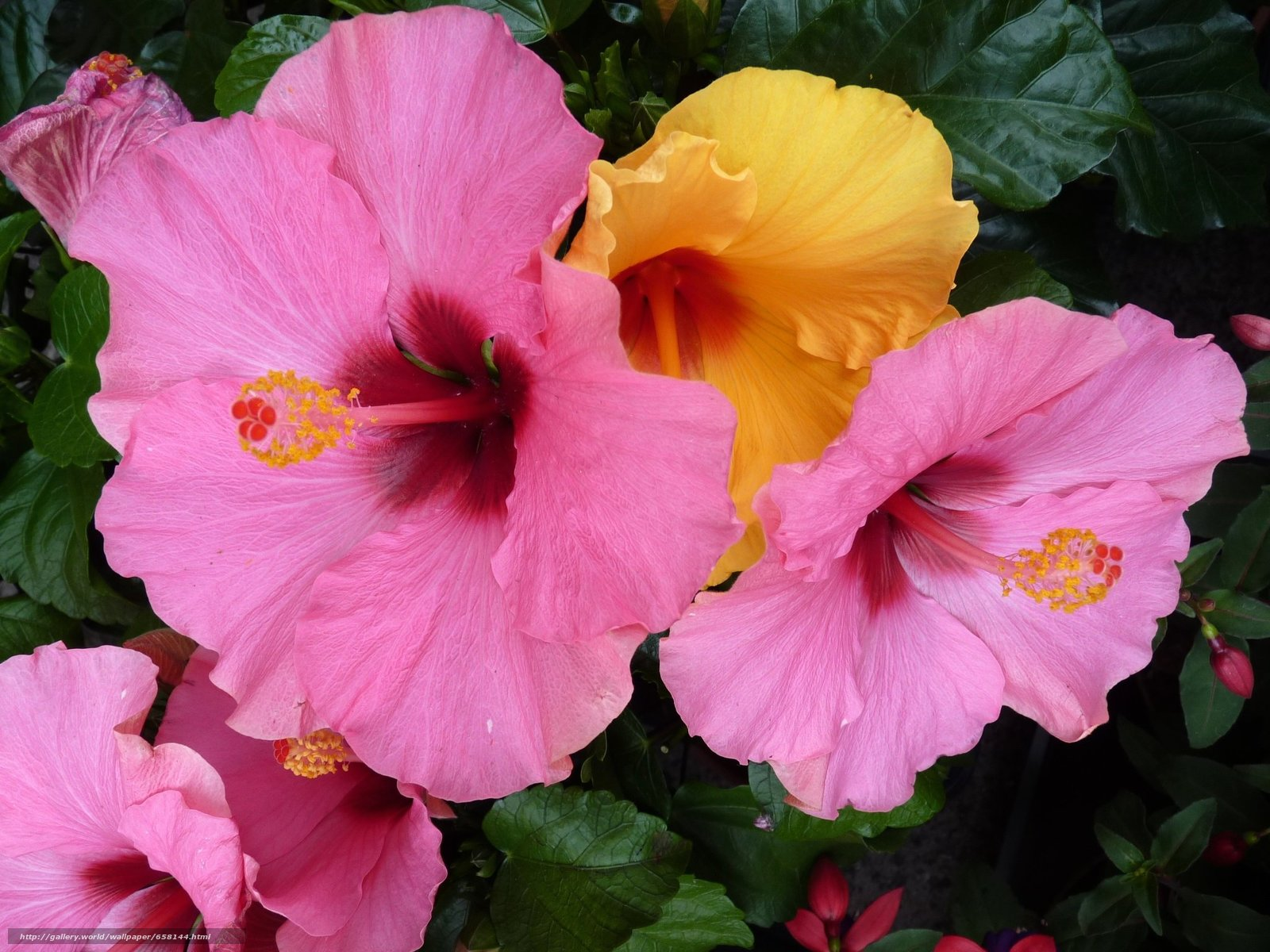 Download wallpaper hibiscus,  Hibiscus,  Flowers,  flower free desktop wallpaper in the resolution 2048x1536 — picture №658144