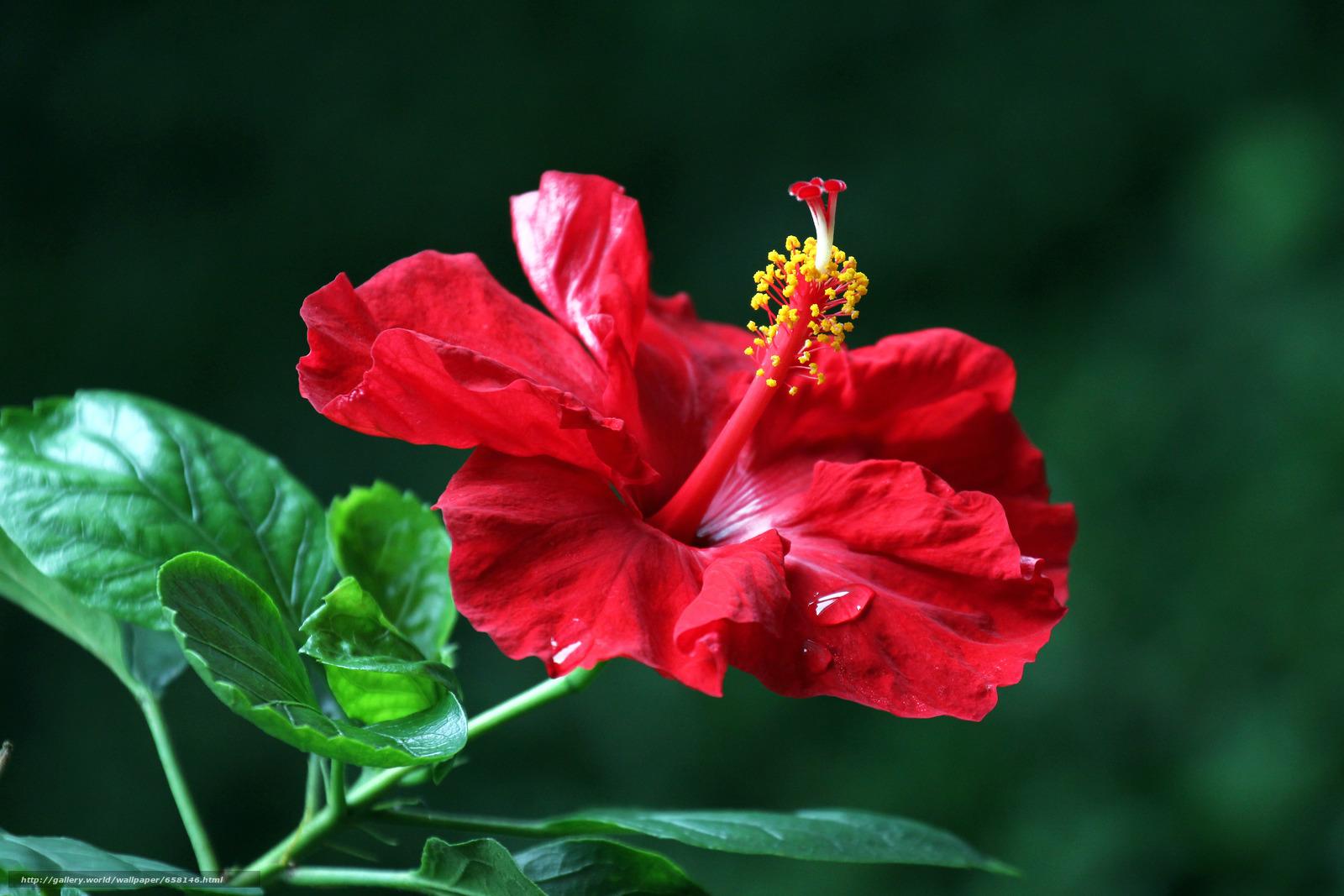 Скачать обои Гибискус,  Hibiscus,  цветы,  цветок бесплатно для рабочего стола в разрешении 5184x3456 — картинка №658146